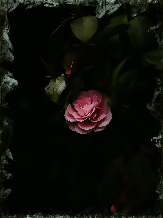 Garden Roses,Black,Nature