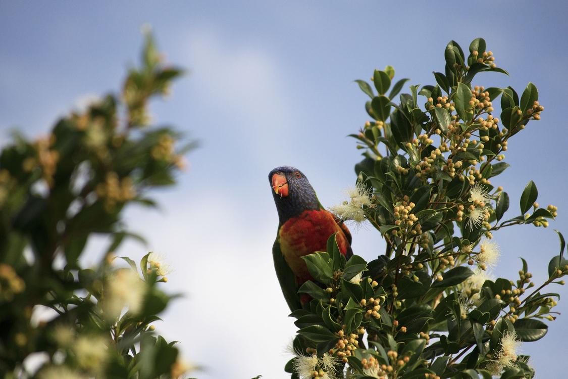 Bird,Beak,Lorikeet