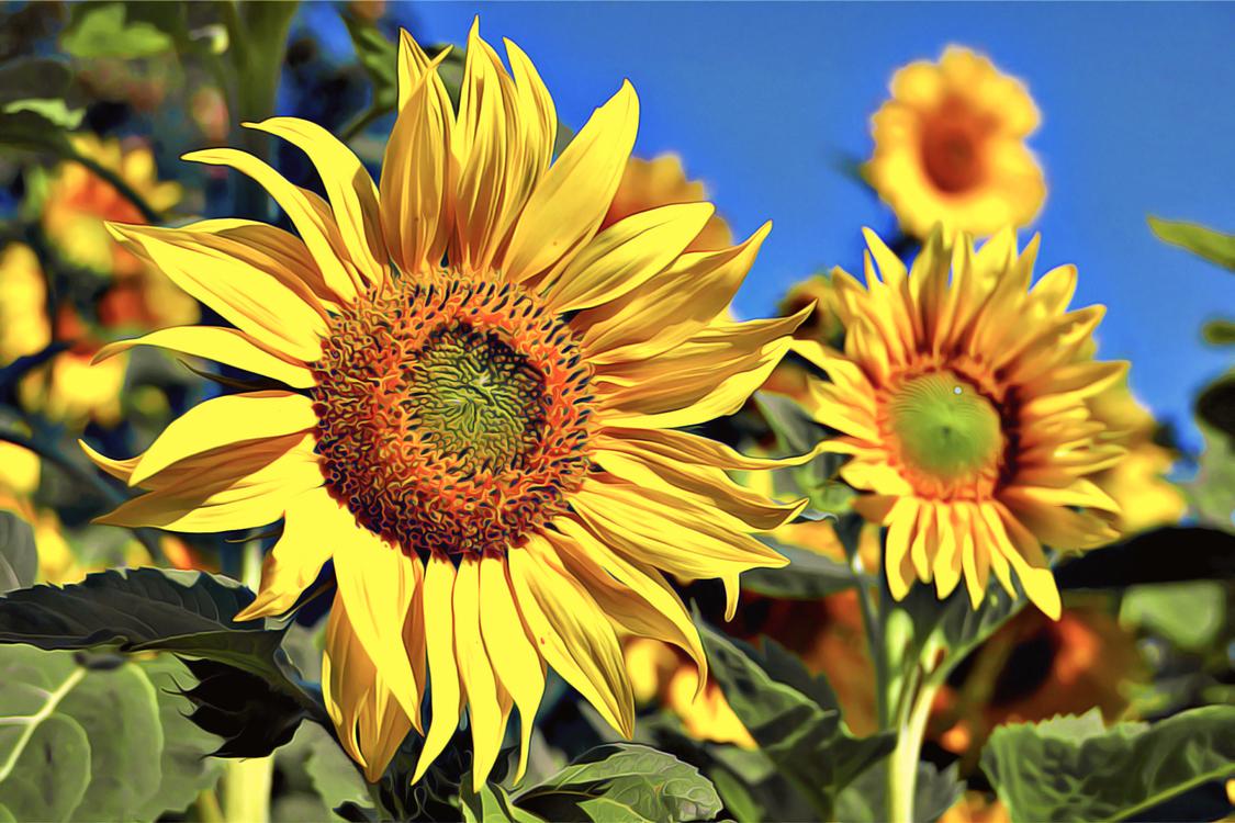 Flower,Sunflower,Flowering Plant