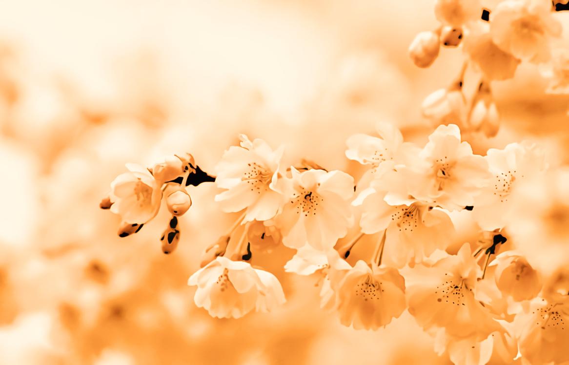 Blossom,Flower,Spring