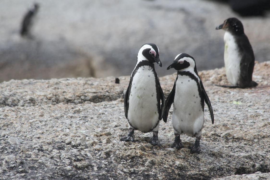 Penguin,Flightless Bird,Bird