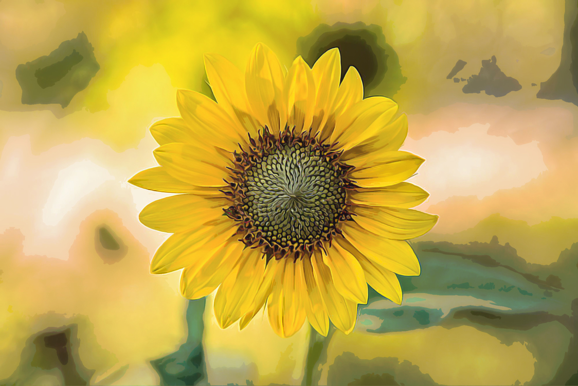 Sunflower,Flower,Yellow