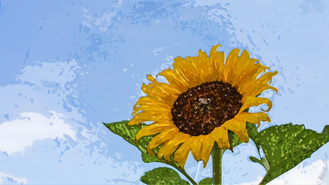 Flower,Sunflower,Sky