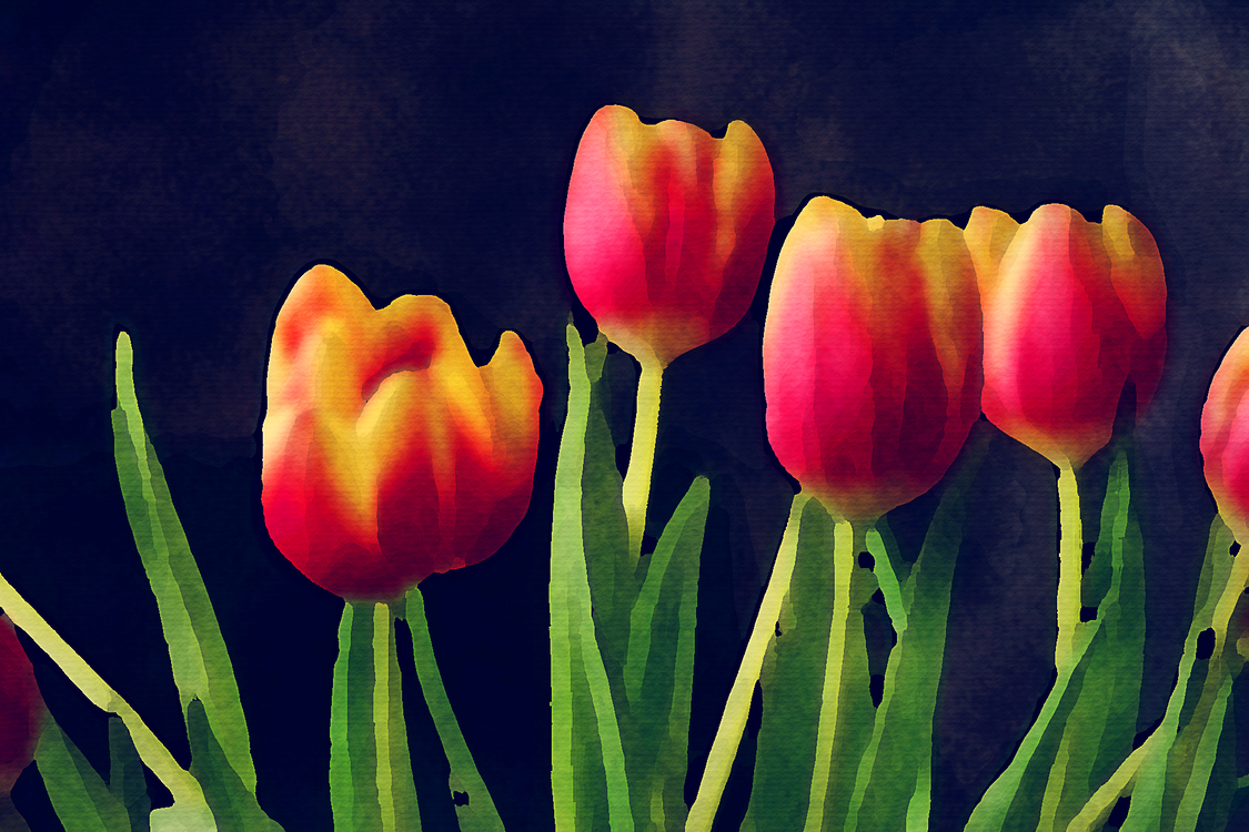 Petal,Tulip,Flower