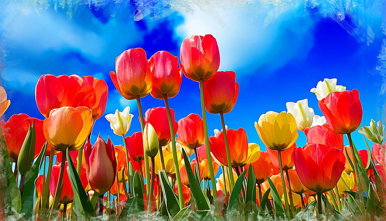 Tulip,Flower,Petal
