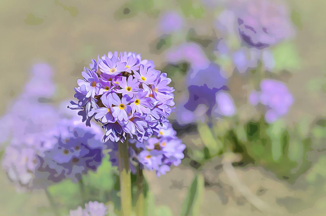 Flower,Flowering Plant,Lavender