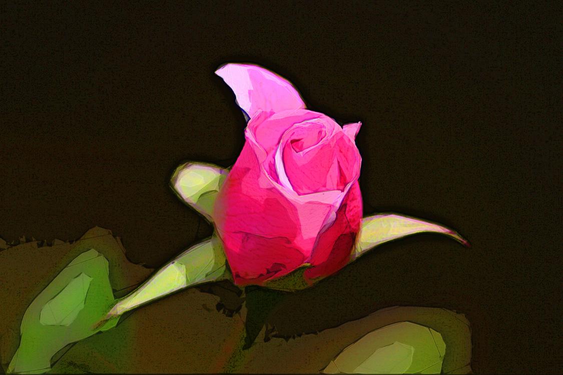 Pink,Garden Roses,Flower