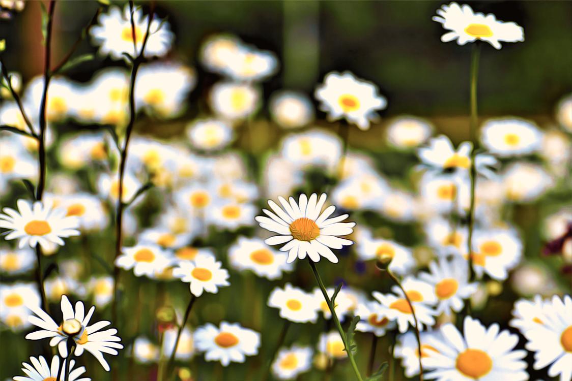 Flower,Daisy,Flowering Plant