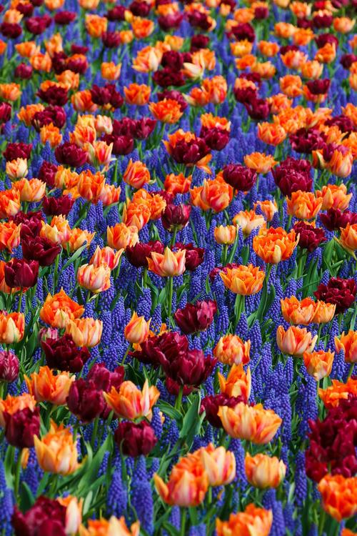 Flower,Plant,Tulip