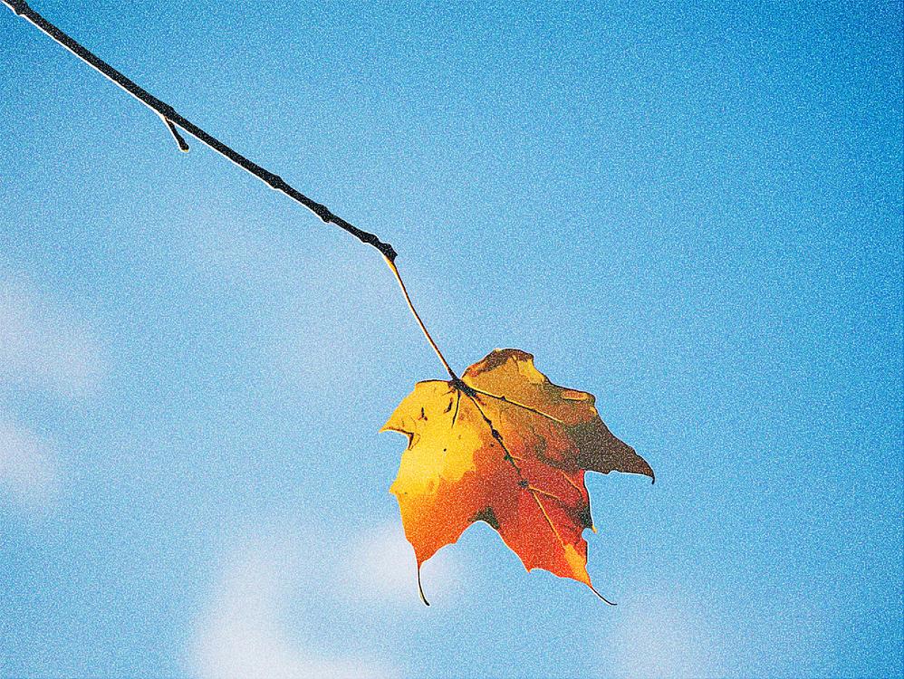 Leaf,Sky,Maple Leaf