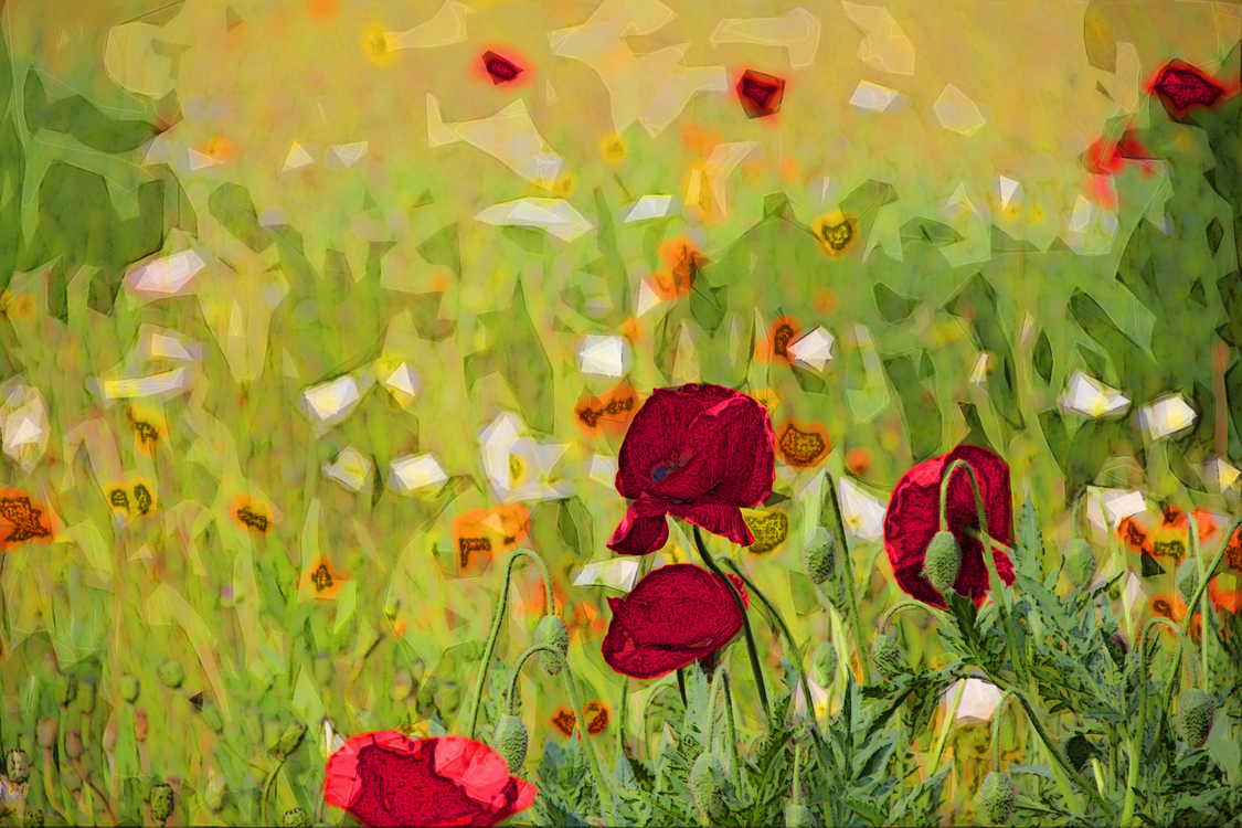 Flower,Meadow,Coquelicot
