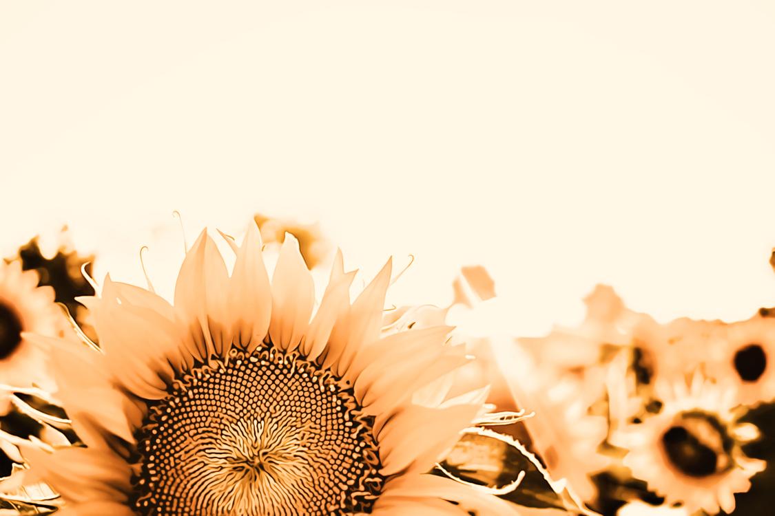 Sunflower,Flower,Plant