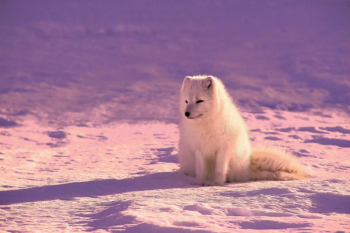 Arctic Fox,Natural Environment,Arctic