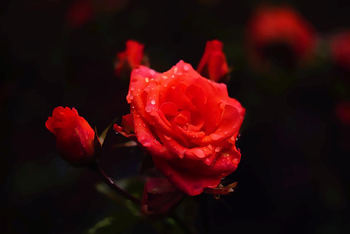 Flower,Garden Roses,Flowering Plant