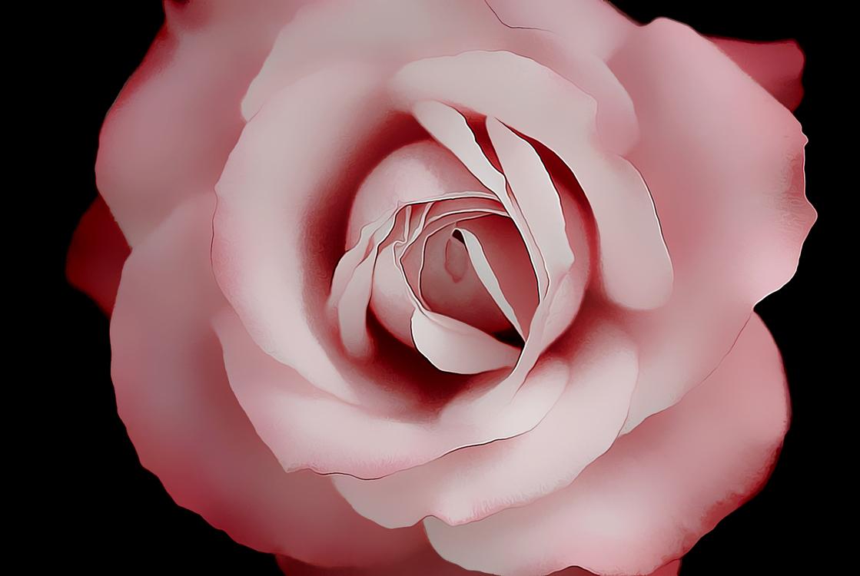 Garden Roses,Petal,Rose