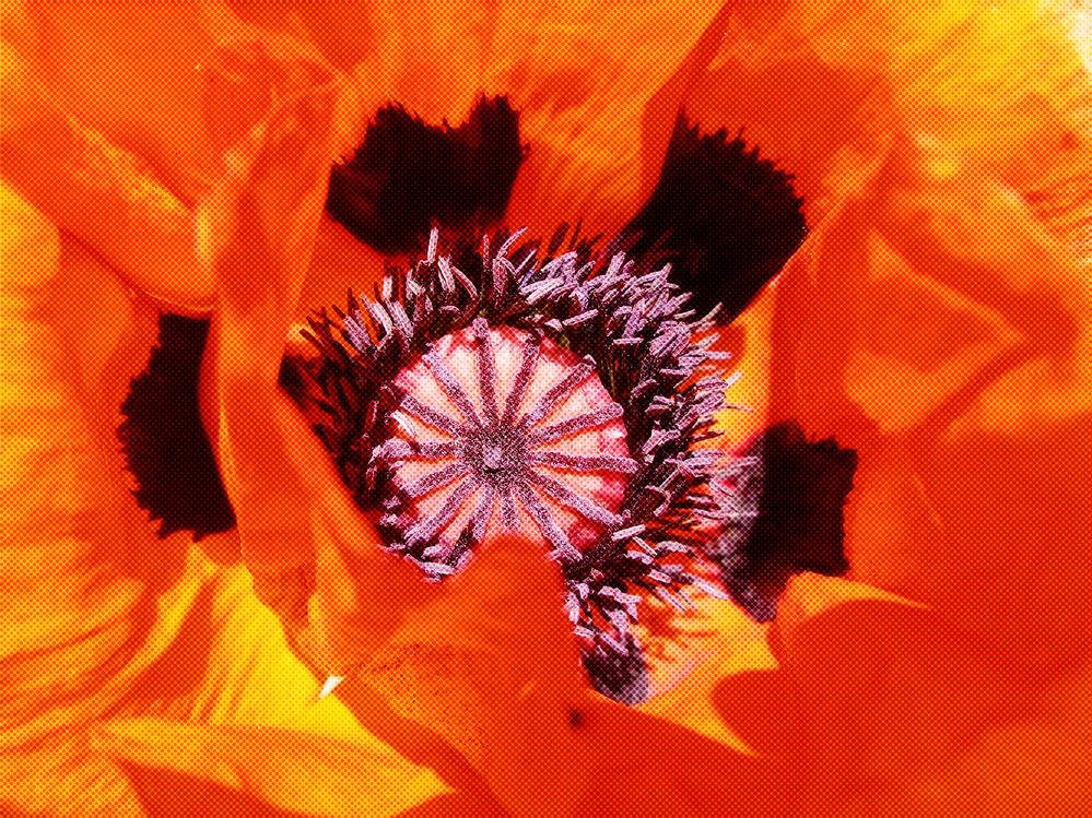 Flower,Oriental Poppy,Petal