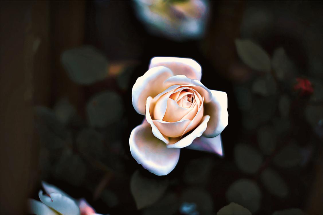 Garden Roses,Flower,Rose