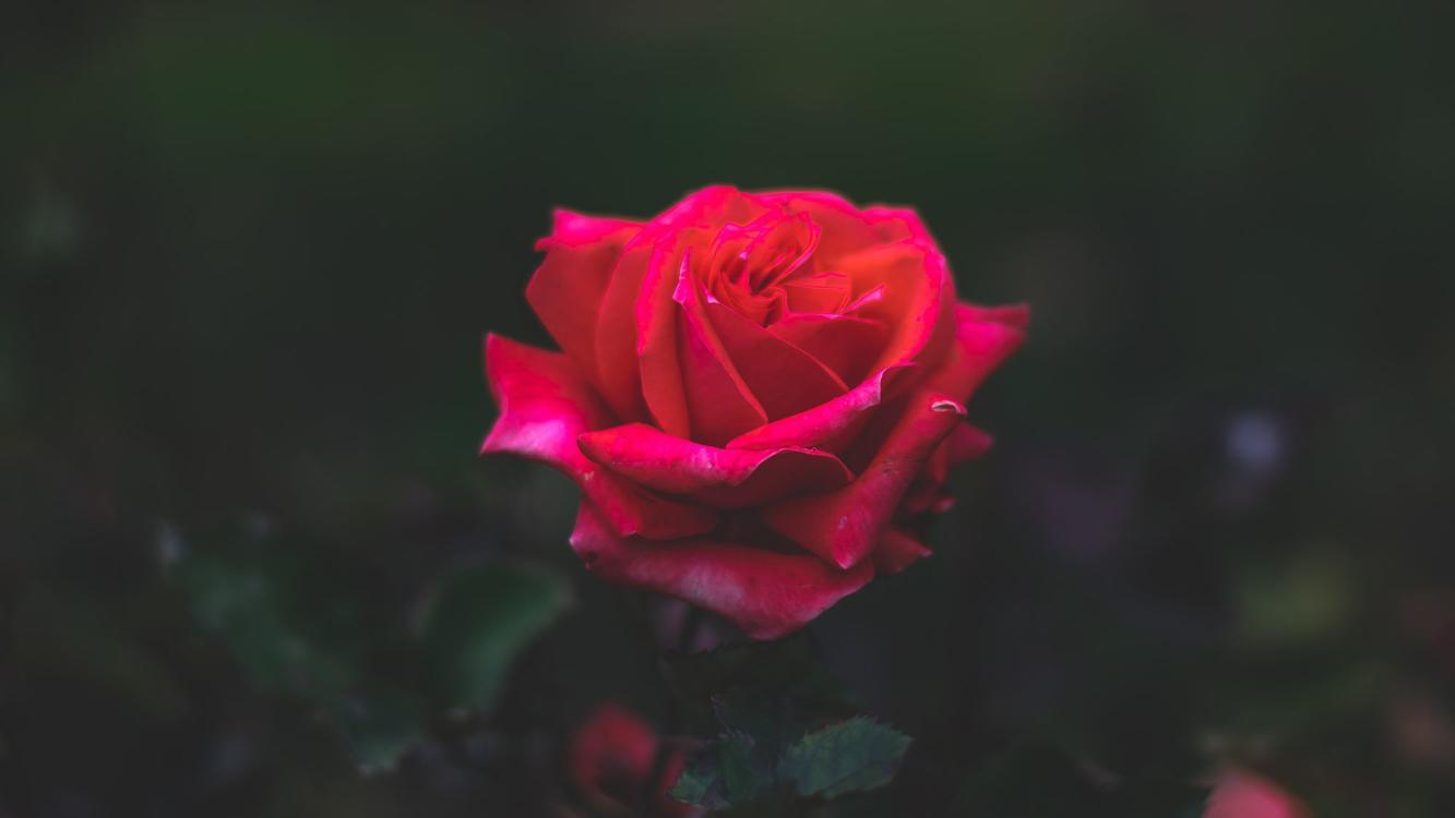 Flower,Garden Roses,Petal