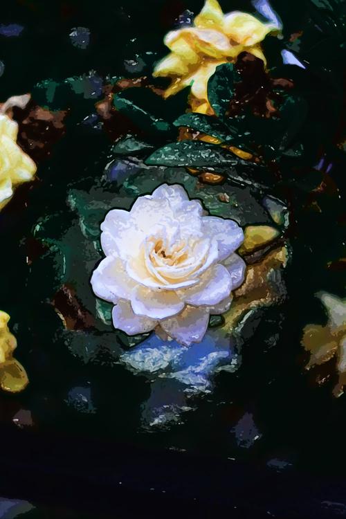 Flower,Rose,Garden Roses