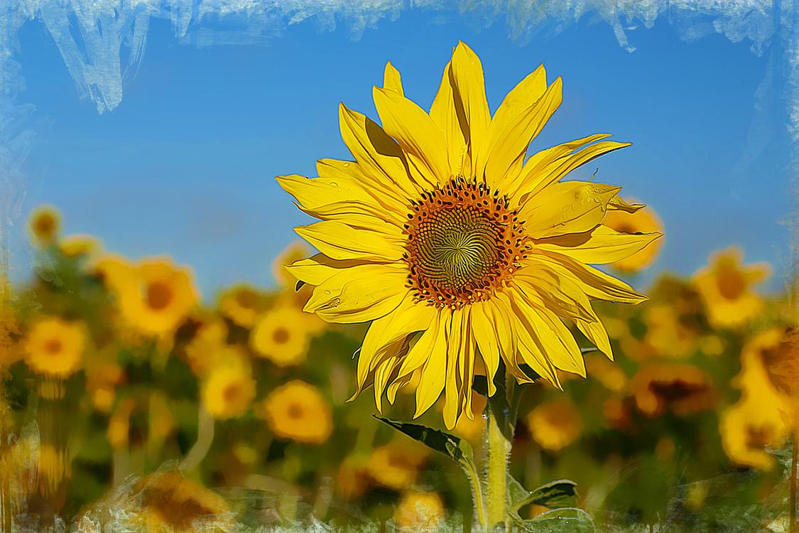 Flower,Sunflower,Plant