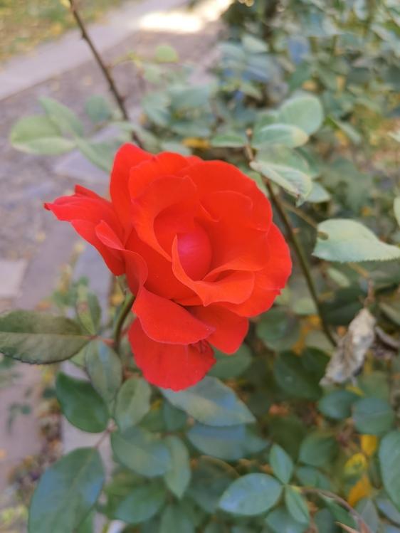 Floribunda,Garden Roses,Annual Plant