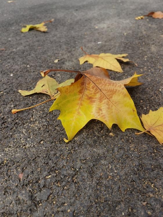 Leaf,Autumn,Maple Leaf  M