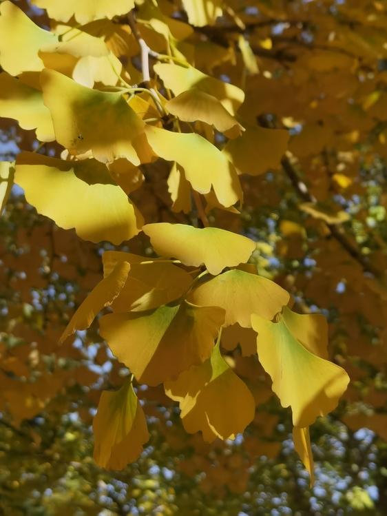 Maidenhair Tree,Leaf,Autumn