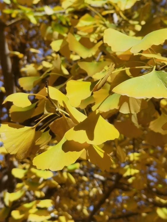 Leaf,Maidenhair Tree,Twig